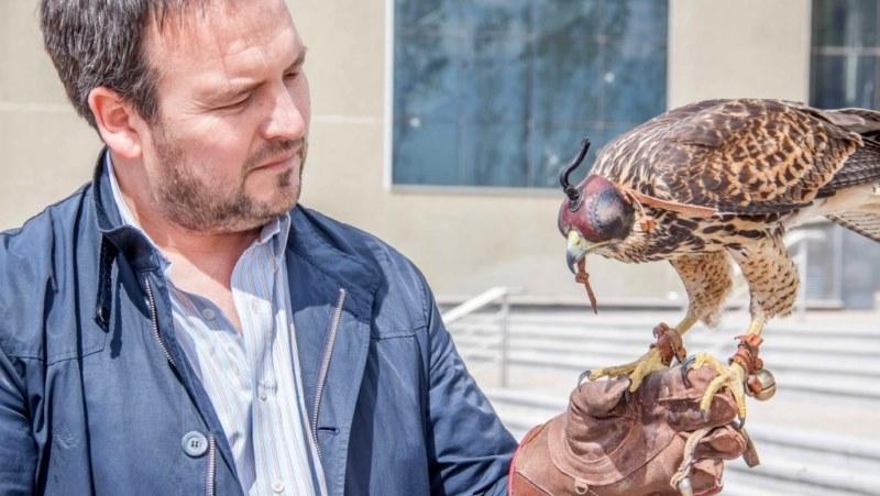 Pichones de halcones combaten plaga de palomas
